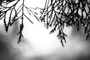 A photo of a drip hanging off the pine branches