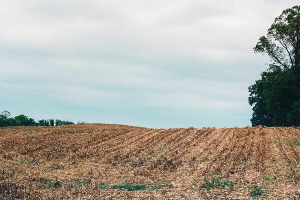 A film photo of a harvested cornfield