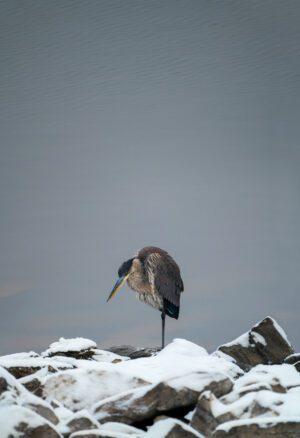 A photograph a heron on snowy rocks