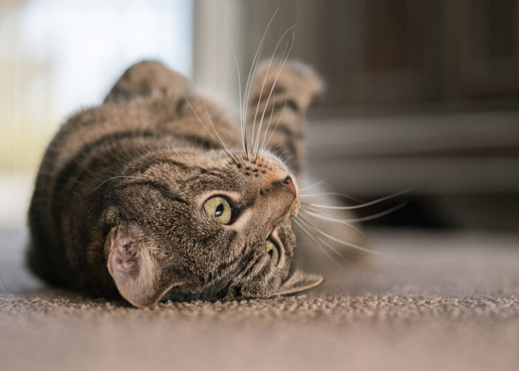 Cat rolling over